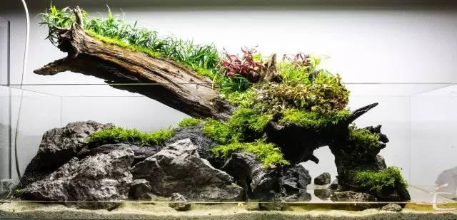 Short Planted tank with colorful aquatic plants