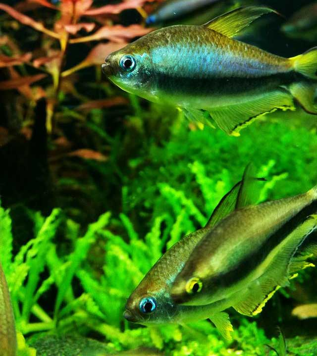 Common Aquascaping Fish Appreciation I