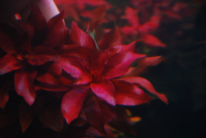 Raise The Red Grass in Fresh Water Aquarium