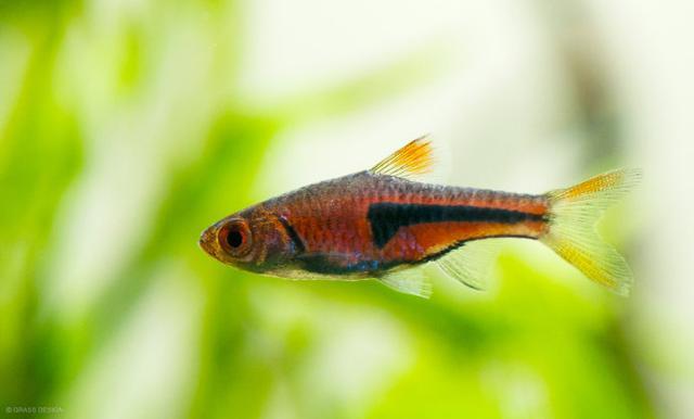Common Aquascaping Fish